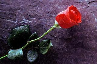 بالصور صور ورد احمر 14912 1