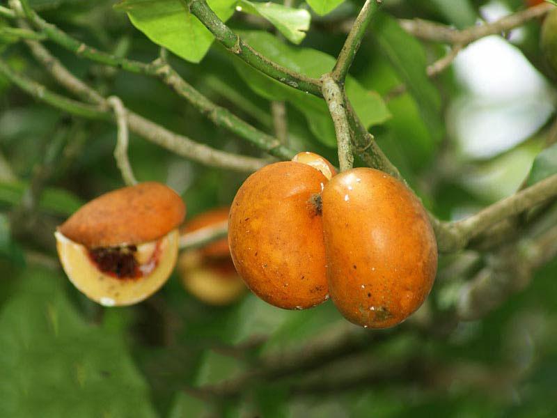 صور عشبة تفاحة ادم للحمل