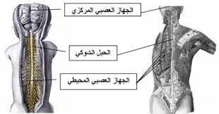 صور الجهاز العصبي pdf , تعريف الحهاز العصبى