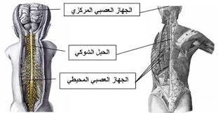 صورة الجهاز العصبي pdf , تعريف الحهاز العصبى