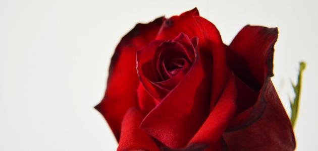 صور وردة حمراء جميلة