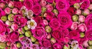 تفسير حلم هدية الورد , رؤيه عطيه الورد
