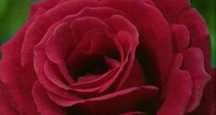 تحميل الصور ورود , روعه الورد الخلاب