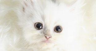 صور قطط بيضاء