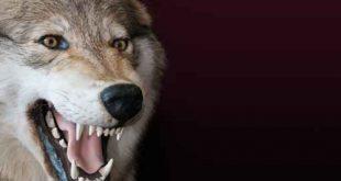 اذا لم تكن ذئبا اكلتك الذئاب