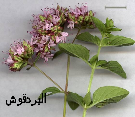صورة فوائد نبتة المردقوش , بجد البردقوش دة معجزة طبيه سبحان الله