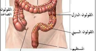 اين يوجد القولون في جسم الانسان