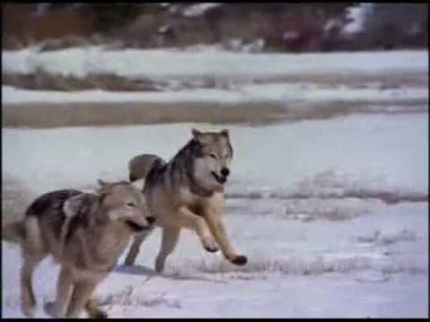 صورة الذئب في المنام ابن سيرين