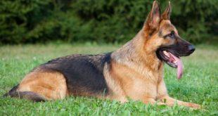بالصور كلب الراعي الالماني 6631 1 or 1392749688 310x165