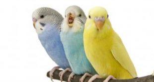 تربية طيور الحب