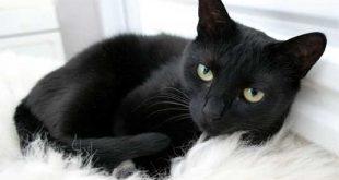 صور حلم القطة السوداء
