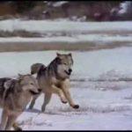 الذئب في المنام ابن سيرين