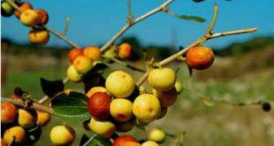 ما فوائد السدر , المعجزات الطبيه التى يقوم بها نبات السدر لجسمك بصفة عامه