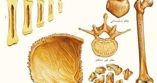بالصور كم عدد العظام في جسم الانسان العظام ما هي؟ وما وظيفتها؟2 310x165