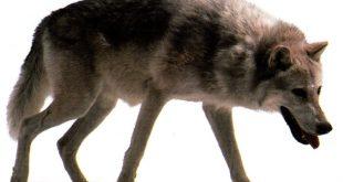 تعريف حيوان الذئب بالفرنسية