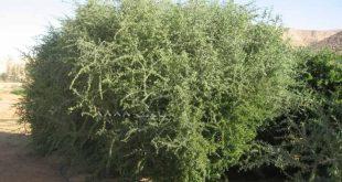 شجرة اليهود المقدسة