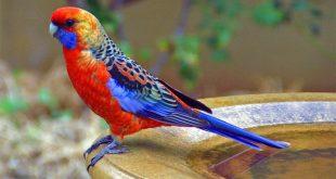 صوره طائر البيروش