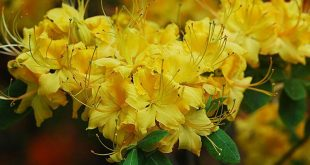صور ورود صفراء