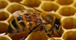 موضوع تعبير عن النحلة