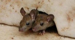 بالصور كيفية القضاء على الفئران في المنزل 2242422013104832 703529124 310x165