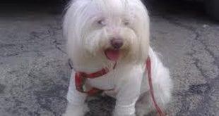 بالصور صور كلب لولو 264b0e164c8a54284be285c87829b7fd 310x165