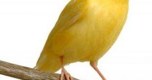 نغمة عصافير