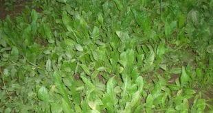 صورة نبات السريس