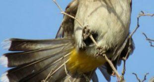 صوره طائر البلبل