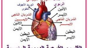صورة ما هو القلب