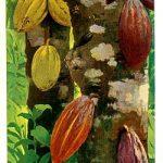 نبتة الكاكاو
