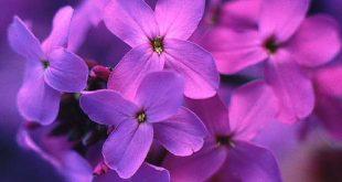 زهور بنفسجية