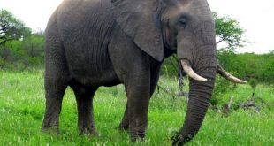 صور الفيل في المنام