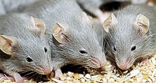 صوره تفسير حلم الفئران لابن سيرين