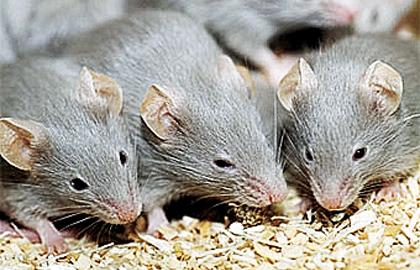 صور تفسير حلم الفئران لابن سيرين , حلمتى بفار ومحتارة تفسيرة اى هعرفك