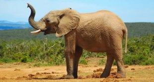 صور بحث عن حيوان الفيل