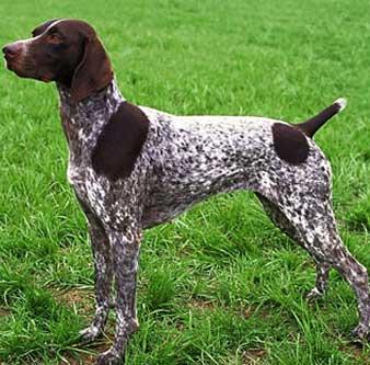 بالصور صور الكلاب الصيد 9144 2