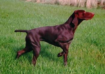 بالصور صور الكلاب الصيد 9144