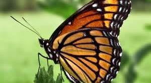 صور ذكر الفراشة