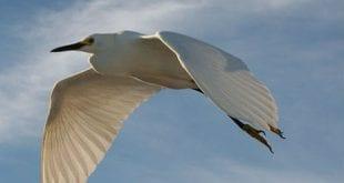 صور طائر الليل الحزين