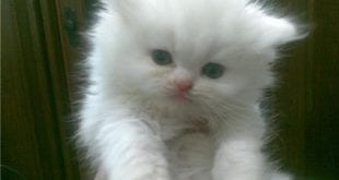 بالصور كيف تتعامل مع القطط c53461c9dc6ac30bd0c6eaa99c21065e 310x165