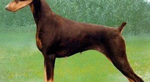 بالصور اشرس كلب في العالم d280d3a8d36f134e92ca31d2871bd670 300x165