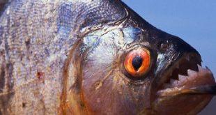 سمك البيرانا