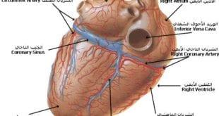 صورة اجزاء القلب وطريقة عمله