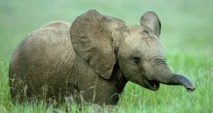 صورة تفسير رؤية الفيل في المنام , حلمتى بفيل ومحتارة معناة اى هقولك