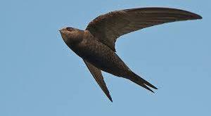 صوره طائر السمامة