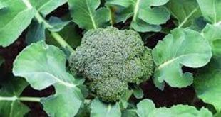 بالصور نبات البروكلى , فوائد البروكلى الصحية 74910 2 310x165