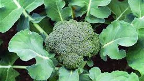 صورة نبات البروكلى , فوائد البروكلى الصحية