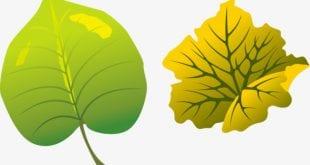صورة اوراق شجر , انواع وصور اوراق الشجر