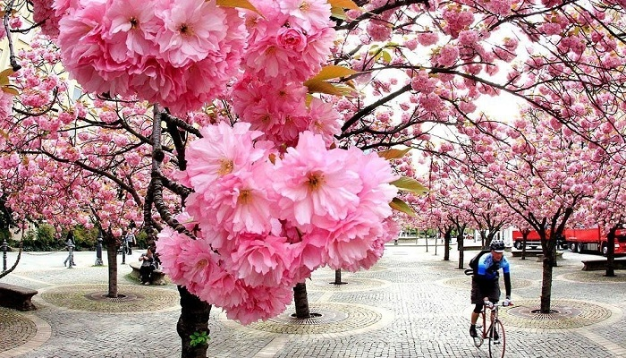 بالصور زهرة الساكورا , صور زهرة الربيع ساكورا 74874 1