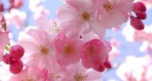 صوره زهرة الساكورا , صور زهرة الربيع ساكورا